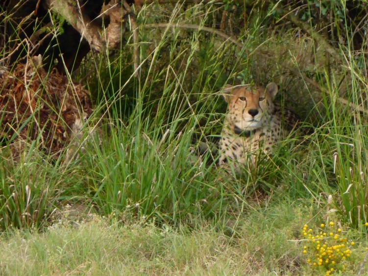 Cheetah, currently recovering from injured leg